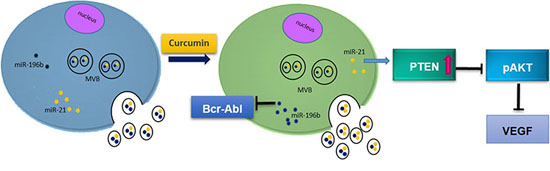 Working hypothesis of the effects of Curcumin on CML cells.