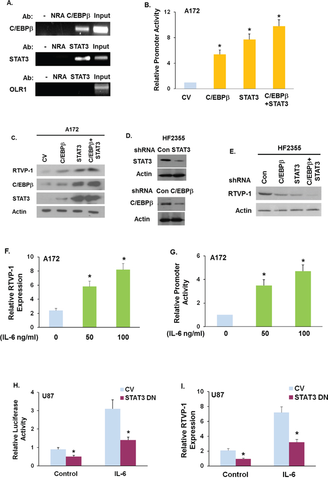 The TFs C/EBPβ and STAT3 and IL-6 regulate RTVP-1 expression.