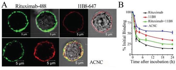 Binding avidity of ACNC to surface CD20 of Raji-anti cells.