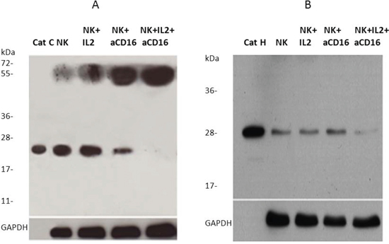 Cathepsin C and cathepsin H expression is inhibited following addition of anti-CD16 antibody to the NK cells in the presence of IL-2.