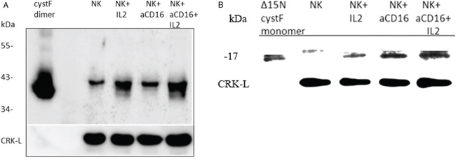 The levels of monomeric and dimeric cystatin F are increased following addition of anti-CD16mAb to the NK cells in the presence or absence of IL-2.