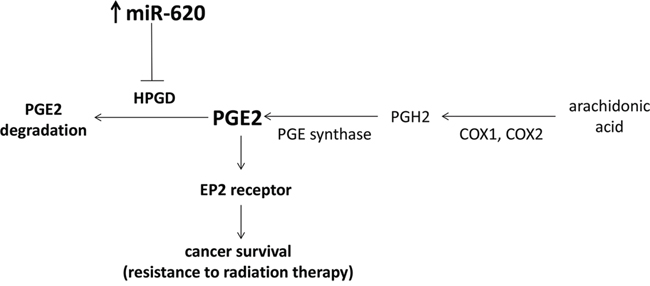 Proposed model of miR-620 on cancer survival in response to radiation treatment.