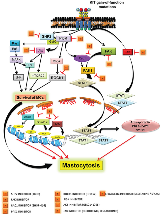 Targeting various downstream signaling pathways from mutated KIT D816V receptors are depicted.