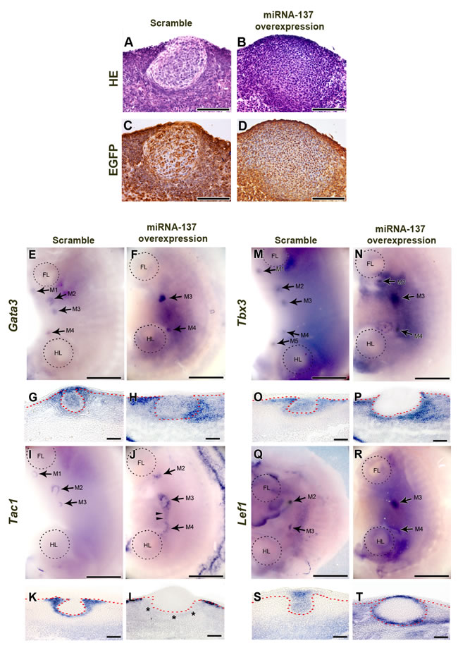 Function of miR-137 during mammary gland development.