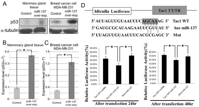 MiR-137 induces p53 expression in mammary gland tissue and breast cancer.
