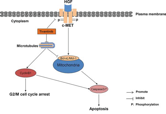 Schematic diagram of the postulated interaction between tivantinib and intracellular mechanisms of apoptosis and cell cycle regulation.