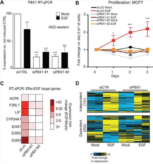PBX1 is required to activate EGF signaling in ERα breast cancer cells.