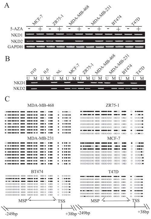 The expression and methylation status of NKD1 and NKD2 in breast cancer cells.