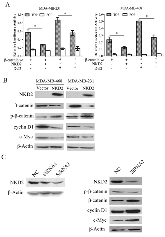 NKD2 inhibits canonical Wnt signaling in human breast cancer cells.