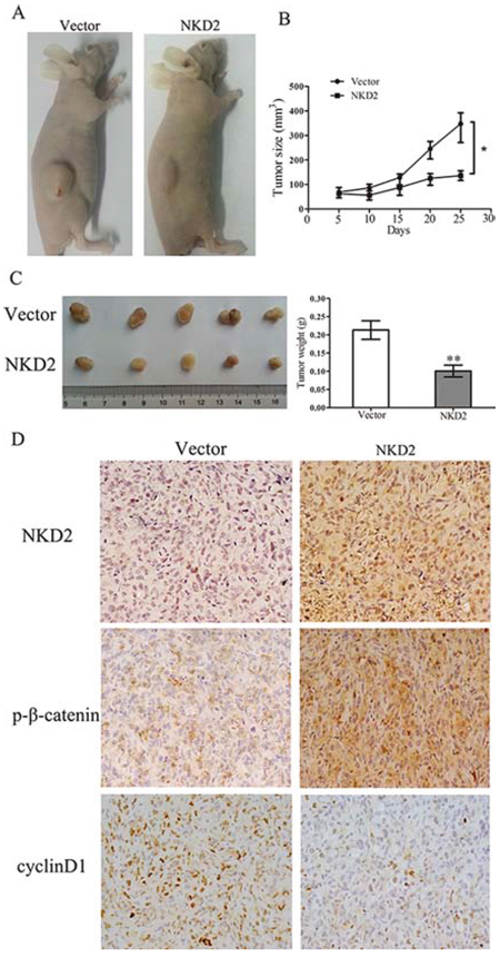 NKD2 suppresses tumor growth in xenograft mice.