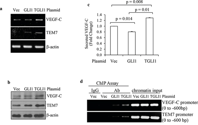 TGLI1 upregulates VEGF-C and TEM7 gene expression.