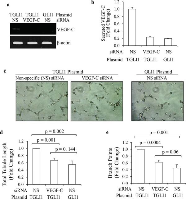 TGLI1 promotes in vitro angiogenesis via VEGF-C.
