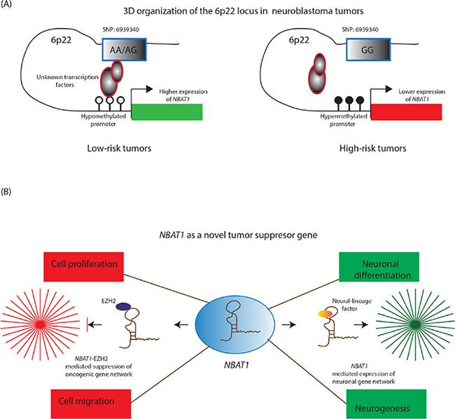 NBAT1 lncRNA controls neuroblastoma progression.