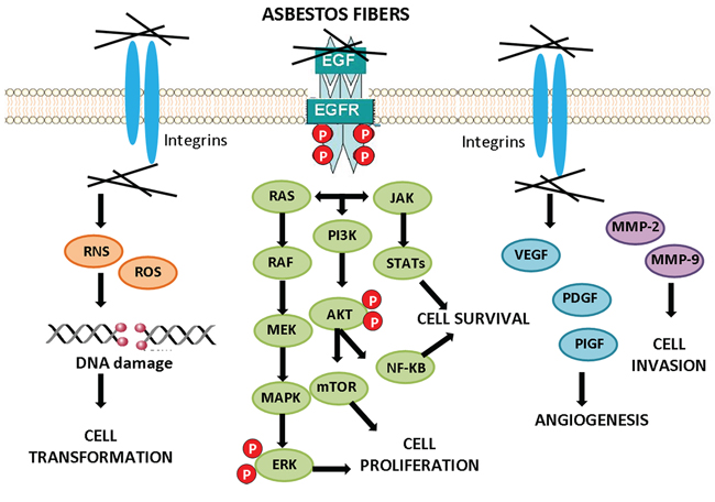 Cell signaling activation by asbestos.