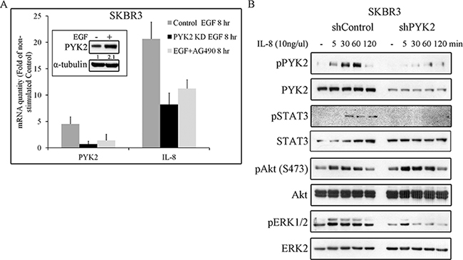 PYK2 affects EGF-induced IL8 expression while IL8 induces PYK2 phosphorylation.