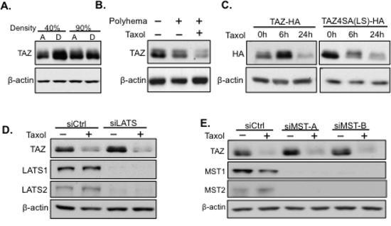 Taxol-induced TAZ degradation is independent of the Hippo pathway and cell detachment or floating.