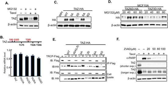 TAZ is degraded through the proteasome system independent of β-TRCP.