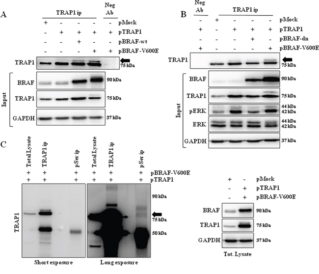 TRAP1 is serine-phosphorylated upon activation of BRAF signaling.