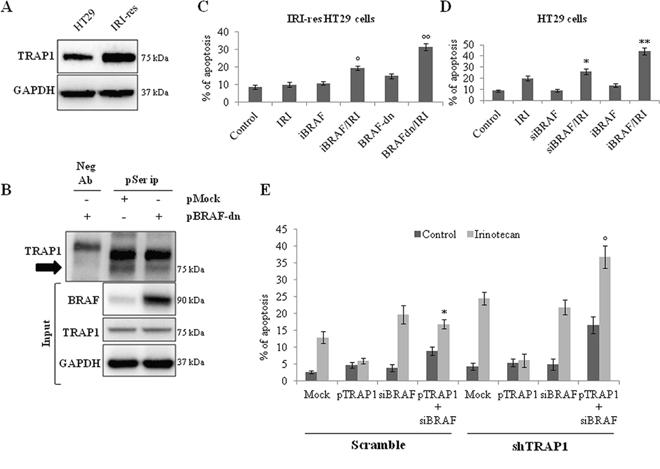 BRAF inhibition prevents TRAP1 serine phosphorylation and re-establish drug-sensitivity in irinotecan-resistant CRC cells.