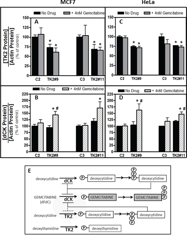 Combination of TK2 knockdown and gemcitabine treatment increase dCK in MCF7 and HeLa cells.