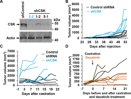 CSK knockdown confers castration resistance in vivo.