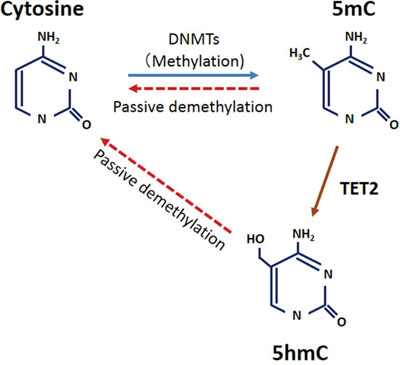 Model for the relationship between 5-hmC and TET2 in ESCC.