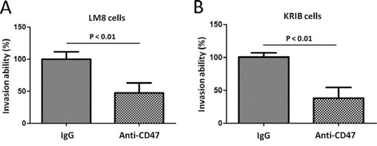 Effect of anti-CD47 Abs on osteosarcoma cell invasion in vitro.