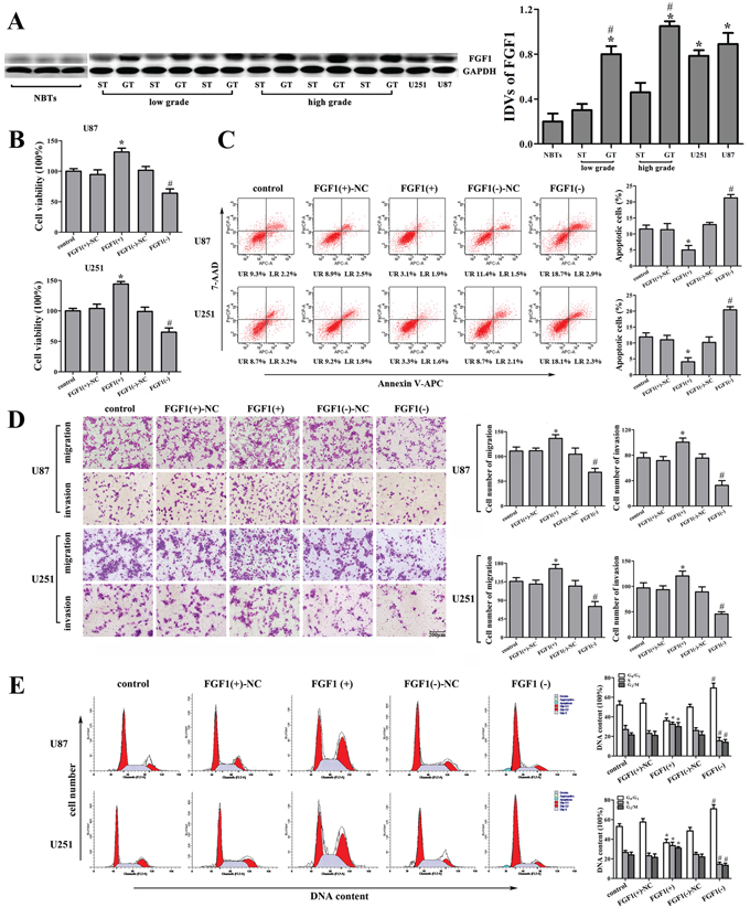 The effect of FGF1 on human glioma cell lines.