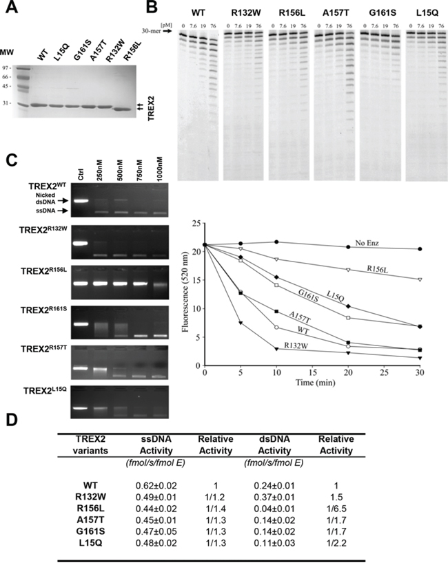 Exonuclease activities of wt and mutant TREX2 variants.