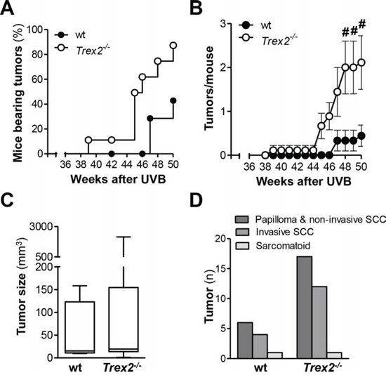 TREX2 deficiency increases susceptibility to UVB-induced skin carcinogenesis.