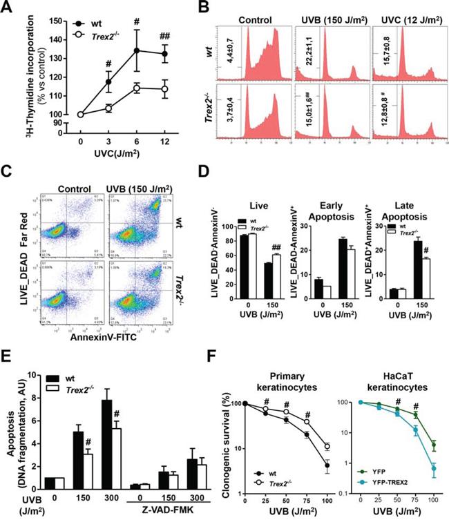 TREX2 deficiency impairs DNA repair and hinders apoptosis in UV-treated keratinocytes.