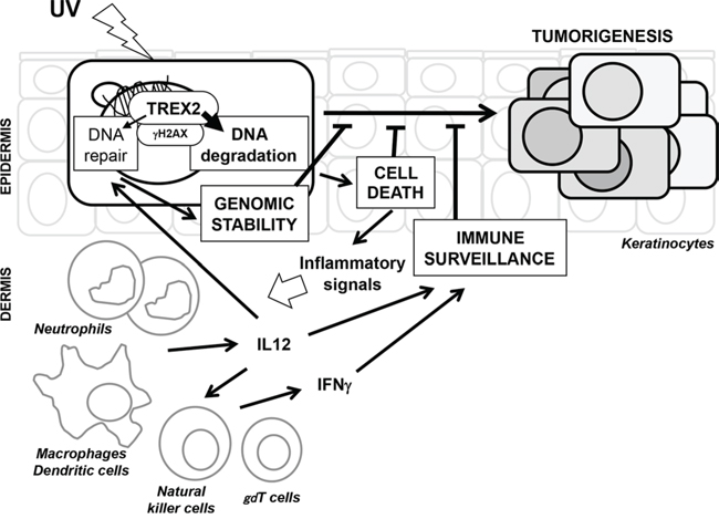 A model for the molecular events of TREX2 in UV-irradiated skin. UV irradiation causes DNA damage in epidermal keratinocytes. TREX2 contributes to DNA repair which facilitates the survival of cells with limited damage.