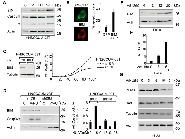 VPA/HU-treatment specifically induces the BCL-2 family protein BIM modulating cell proliferation and apoptosis.