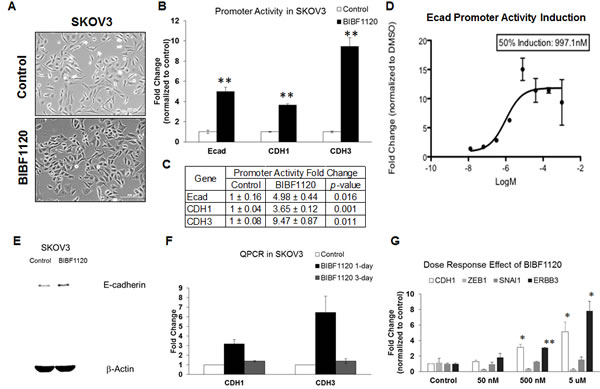 Effect of nintedanib treatment on the expression levels and promoter activities of E-cadherin in SKOV3 cells.
