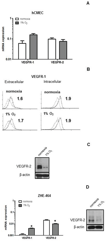 Modulation of VEGFR expression by hypoxia in hCMEC and GMEC.