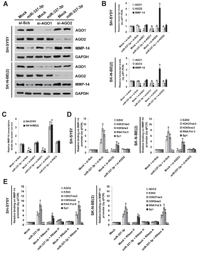 AGO2 is involved in miR-337-3p-induced epigenetic repression of MMP-14 in NB cells.
