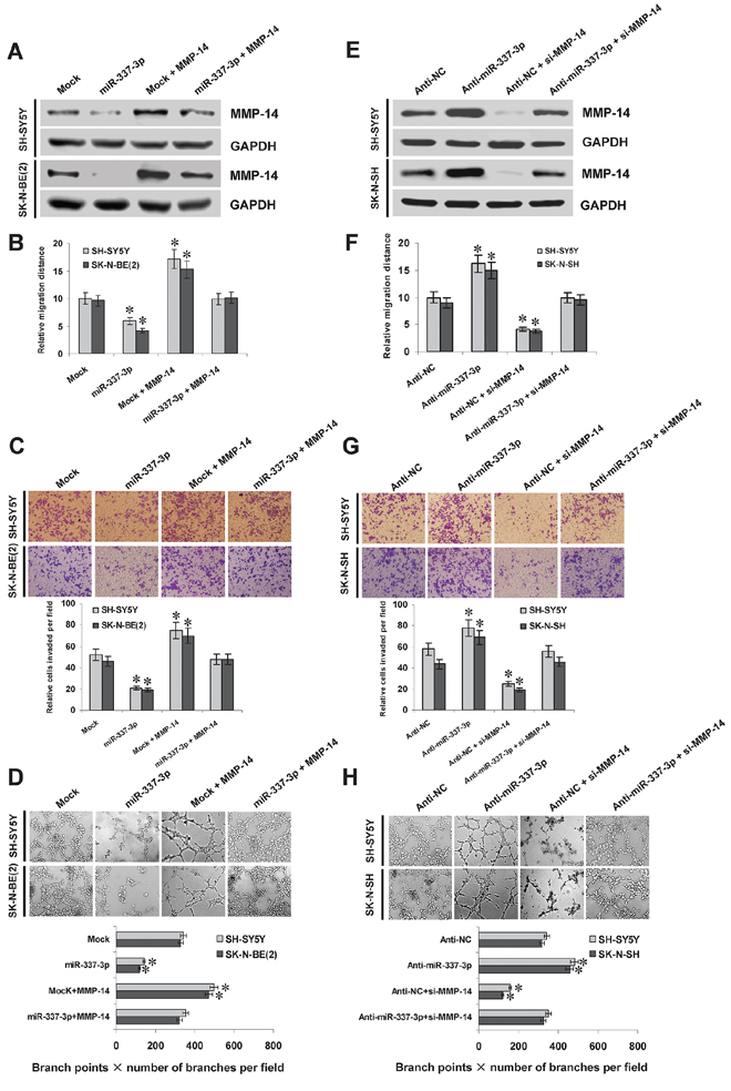 miR-337-3p suppresses the migration, invasion, and angiogenesis of NB cells in vitro.