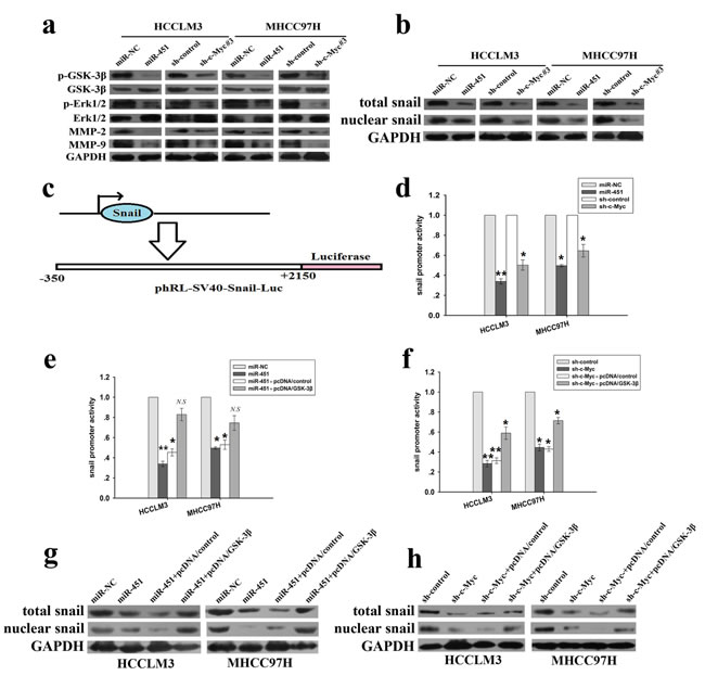 miR-451 regulates the expression of EMT-related markers and members of MMPs family through activation of Erk1/2 signaling in HCC cells by targeting c-Myc.