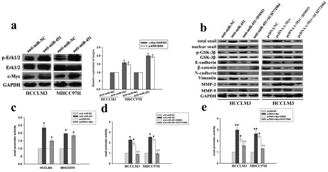 Role of ERK signaling in the effects of miR-451/c-Myc expression on snail or MMPs expression in HCC cells.
