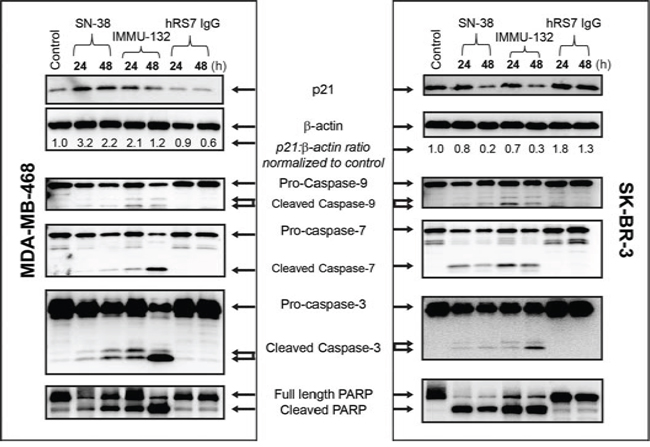 IMMU-132 mediated pro-apoptosis signaling in human breast cancer lines.