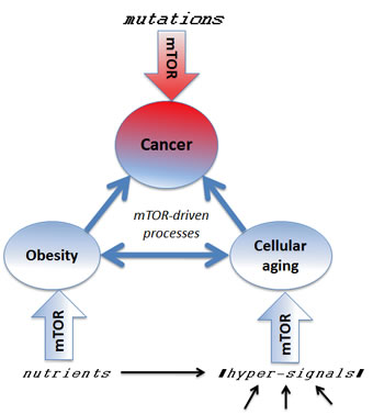 Several mTOR-dependent processes acting in concert can promote cancer.