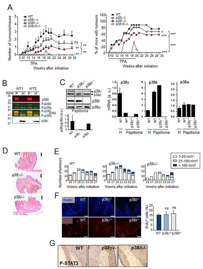 p38γ/δ deletion reduces the incidence of DMBA/TPA-induced skin tumour formation in mice.