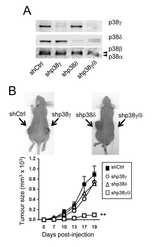 Combined p38γ/δ deletion reduces tumourigenesis of A431 cells.