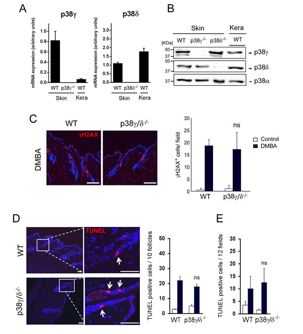 Combined p38γ and p38δ deletion does not affect DMBA response in the skin.