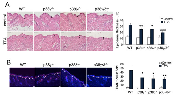 p38γ and p38δ deletion decreases epithelial cell proliferation.