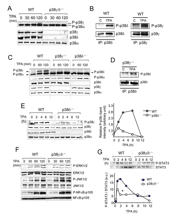 Activation of intracellular signalling pathways by TPA.