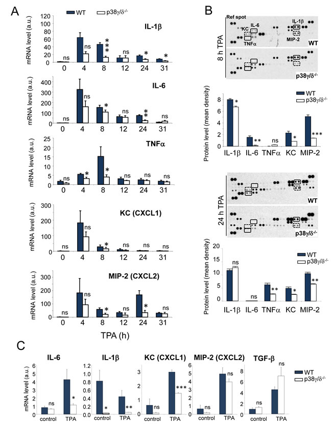 p38γ/δ deletion reduces TPA-induced cytokine and chemokine production in mouse skin.