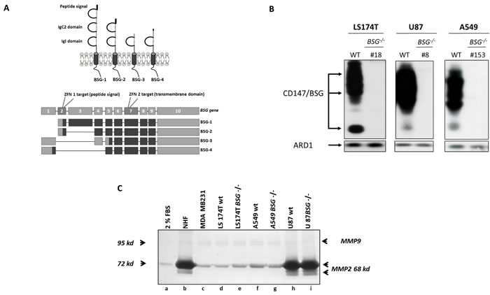Zinc Finger Nucleases Knock out of BASIGIN/CD147 gene in tumour cells.