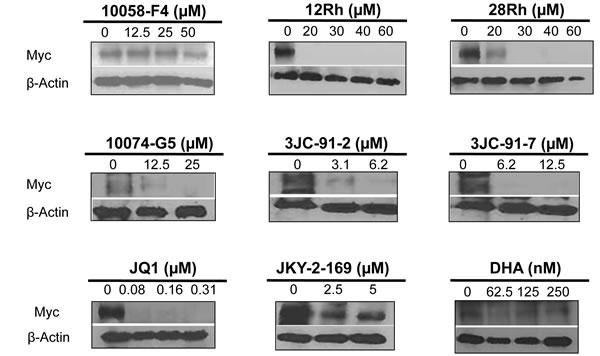 Myc protein immunoblots.