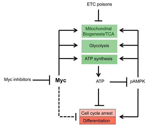 Common mechanism of Myc inhibitor action.